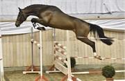 Hest til salg - 4 - INDURAIN LN