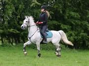 Hest til salg - Amadeus