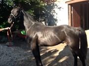 Hest til salg - SUAREZ