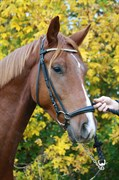 Hest til salg - ARISTOCRAT