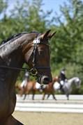 Hest til salg - FÆLDGÅRDENS DAZJA