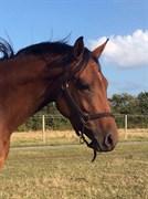 Hest til salg - VESTERGÅRDS WONDER MATCH