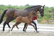 Hest til salg - ZALISTO AF SKANDERBORG