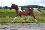 Hest til salg - AKN OHÉYAN