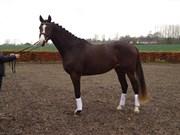 Hest til salg - Showmann  NV