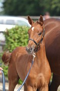 Hest til salg - VESTERGÅRDENS BAROLO