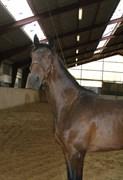 Hest til salg - RIES' AUSTIN