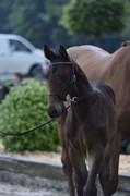 Hest til salg - ØSTERGAARD'S KODA