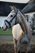 Hest til salg - LYKKESBORGS RIOBLANCO