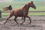 Hest til salg - DORTHEA-HØJ