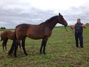 Hest til salg - ROSA RUBIN