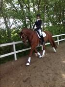 Hest til salg - Scarlet Pimpernel