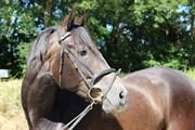 Hest til salg - Dominic Al Ziyadah