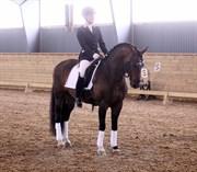 Hest til salg - Stackarps Peeron RNF 176