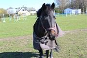 Hest til salg - BLACK BOY
