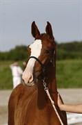 Hest til salg - A.N. BARNEY