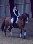 Hest til salg - DEBUTANT