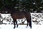 Hest til salg - FLOWER POWER AF MÖHLE