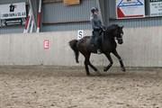Hest til salg - CHOCOLATE NOIR