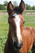 Hest til salg - AYRTON VITZ