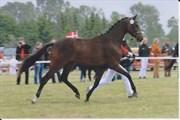 Hest til salg - IDAHO-AS