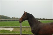 Hest til salg - Gredstedgaards Lacost