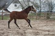 Hest til salg - VIDTSKUE'S UN