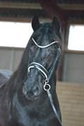 Hest til salg - Mentha de V.