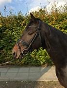 Hest til salg - RIESENFELLER S