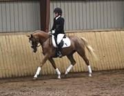 Hest til salg - NØRLUNDS SAFFRON
