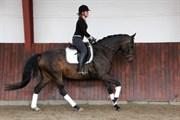 Hest til salg - BURGDORFF FERRARI