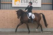Hest til salg - SVANEGAARDENS ZARANO