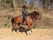 Hest til salg - HEDENS JUVENTUS