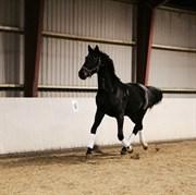 Hest til salg - LOGSLUNDS WALLANDER