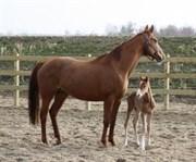 Hest til salg - BERLINALE