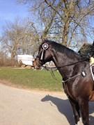 Hest til salg - SHAHEEN MIRÓ