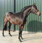 Hest til salg - Cascaro