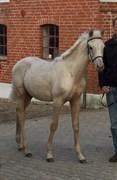 Hest til salg - KVOLSBÆK'S AWESOME AURORA