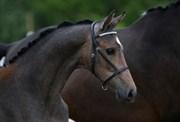 Hest til salg - 405 - LYNGBJERGBO'S CIMBERLY
