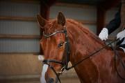 Hest til salg - WELLINGTON V.