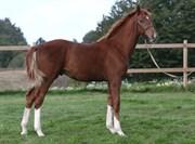 Hest til salg - Solgaardens Soulmate