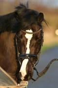 Hest til salg - HAYMO'S EXTREEM MORE MAGIC