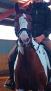 Hest til salg - Pjerrot