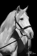 Hest til salg - Volador