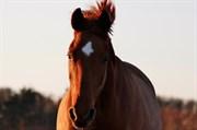 Hest til salg - Pippi Langstrømpe