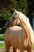Hest til salg - HEDEGAARDS CALIFORNIA BLUE