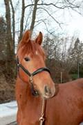 Hest til salg - MISS ROCKSLEY PS