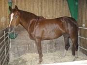 Hest til salg - CANTIA K (FLYING GINI)
