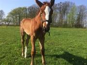 Hest til salg - SØLBECKS COR L'AMOUR