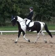Hest til salg - St. Galoply's Playboy
